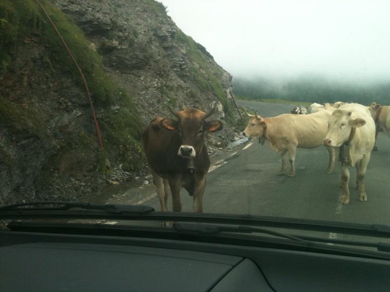 Stubborn cows
